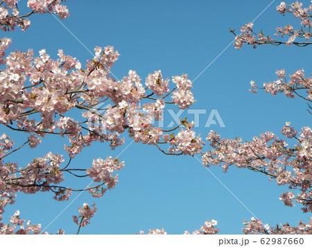 稲毛海岸駅前の河津桜が満開です 62987660