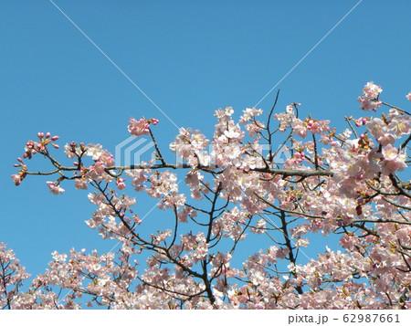 稲毛海岸駅前の河津桜が満開です 62987661