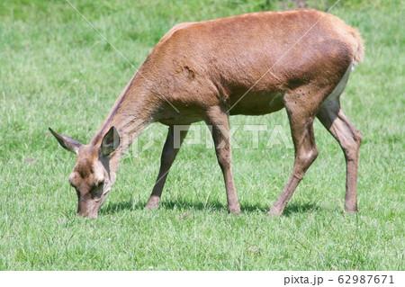 Red deer (Cervus elaphus) 62987671