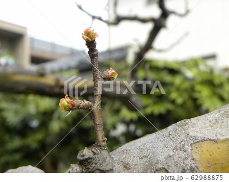 黄緑色の若葉が育つカリンの木 62988875