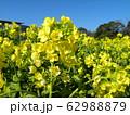 早咲きナバナの黄色い花が満開です 62988879