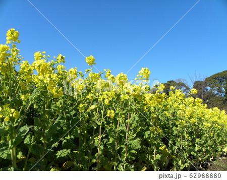 早咲きナバナの黄色い花が満開です 62988880
