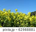 早咲きナバナの黄色い花が満開です 62988881