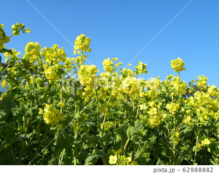 早咲きナバナの黄色い花が満開です 62988882