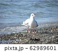 検見川浜にまだまだ見られる冬の渡り鳥ユリカモメ 62989601