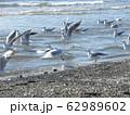 検見川浜にまだまだ見られる冬の渡り鳥ユリカモメ 62989602