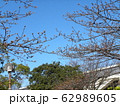 稲毛海岸駅前の河津桜は未だ蕾 62989605