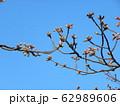 稲毛海岸駅前の河津桜は未だ蕾 62989606