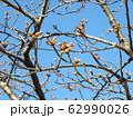 稲毛海岸駅前の河津桜の蕾が大分膨らみました 62990026