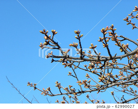 稲毛海岸駅前の河津桜の蕾が大分膨らみました 62990027