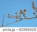 稲毛海岸駅前の河津桜の蕾が大分膨らみました 62990028