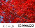 写真素材:赤く紅葉する木々、秋 62990822