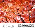 写真素材:赤く紅葉する木々、秋 62990823