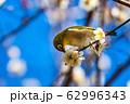 梅の木とメジロ 宮城県白石市 62996343