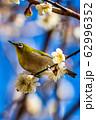 梅の木とメジロ 宮城県白石市 62996352