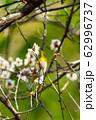 梅の木とメジロ 宮城県白石市 62996737