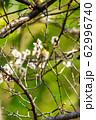 梅の木とメジロ 宮城県白石市 62996740