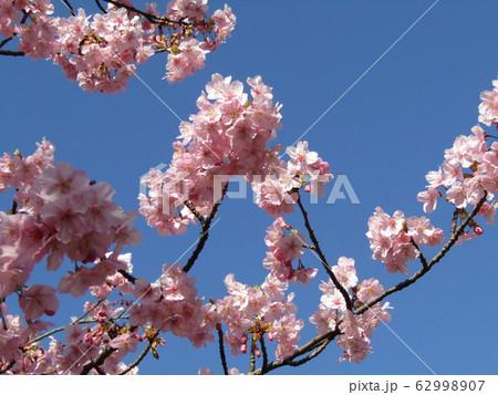 稲毛海岸駅前の満開の河津桜の花 62998907