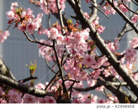 稲毛海岸駅前の河津桜の花は葉桜になり始めました 62998908