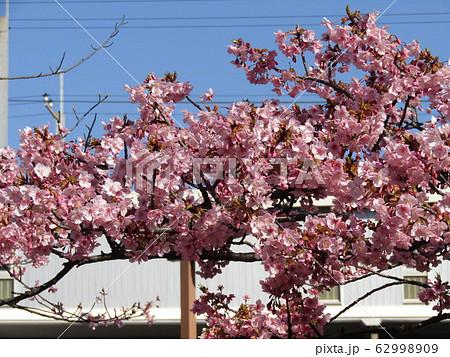 稲毛海岸駅前の河津桜が満開になりました 62998909