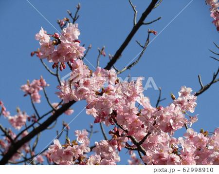 稲毛海岸駅前の河津桜が満開になりました 62998910