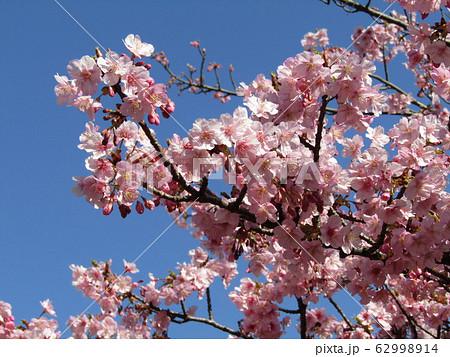 稲毛海岸駅前の河津桜が満開になりました 62998914