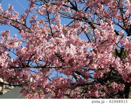 稲毛海岸駅前の河津桜が満開になりました 62998915