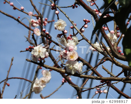 我が家の梅の花が満開になりました 62998917