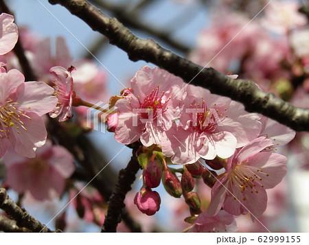 稲毛海岸駅前の河津桜が八分咲きになりました 62999155