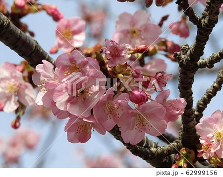 稲毛海岸駅前の河津桜が八分咲きになりました 62999156