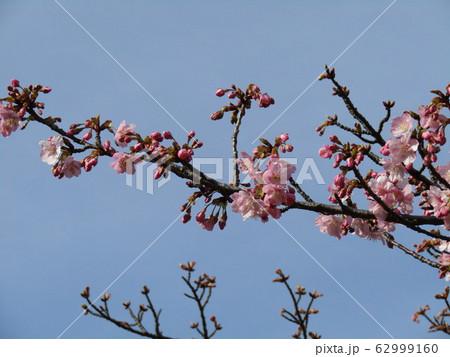 稲毛海岸駅前の河津桜が八分咲きになりました 62999160