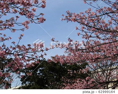 稲毛海岸駅前の河津桜が八分咲きになりました 62999164