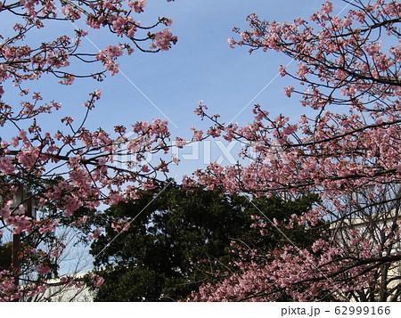稲毛海岸駅前の河津桜が八分咲きになりました 62999166