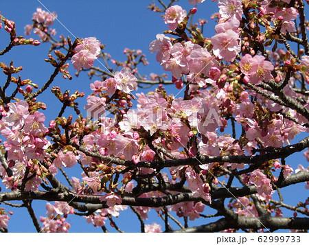 稲毛海岸駅前の河津桜が五分咲きになりました 62999733