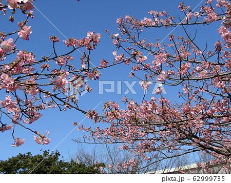 稲毛海岸駅前の河津桜が五分咲きになりました 62999735