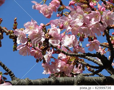 稲毛海岸駅前の河津桜が五分咲きになりました 62999736