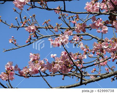 稲毛海岸駅前の河津桜が五分咲きになりました 62999738