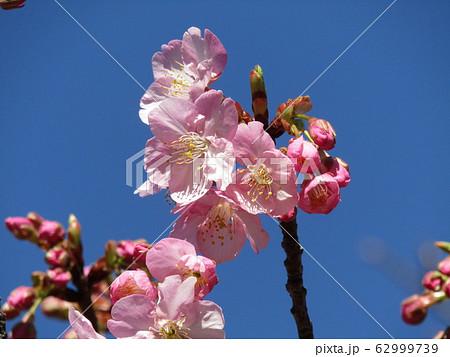 稲毛海岸駅前の河津桜が五分咲きになりました 62999739