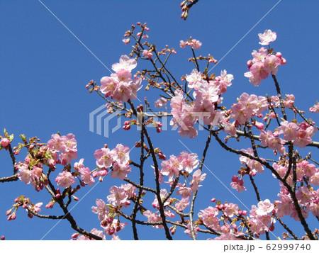 稲毛海岸駅前の河津桜が五分咲きになりました 62999740