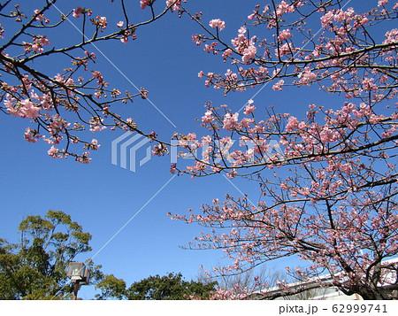 稲毛海岸駅前の河津桜が五分咲きになりました 62999741