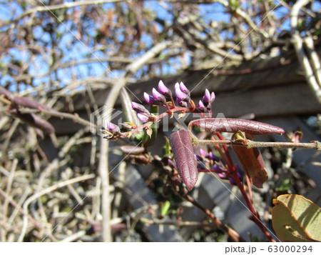 この紫色の蕾はつる性植物はハーデンベルギアの蕾 63000294