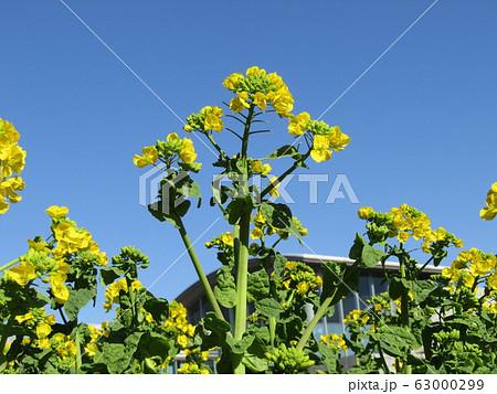 二月には満開になる早咲きナバナの黄色い花 63000299