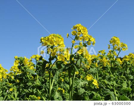 二月には満開になる早咲きナバナの黄色い花 63000300