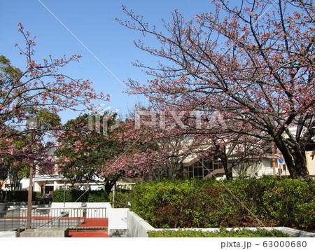 稲毛海岸駅前の河津桜がもう直ぐ咲きそうです 63000680