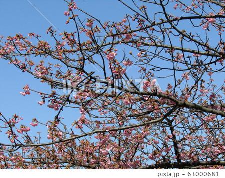 稲毛海岸駅前の河津桜が咲き始めました 63000681