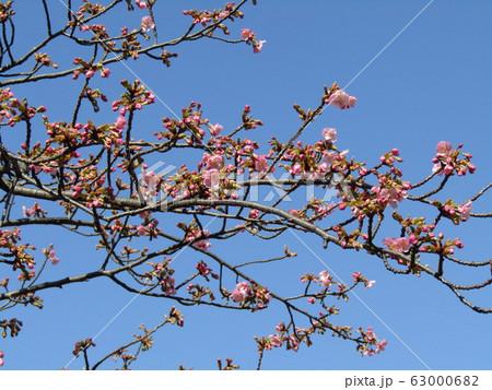 稲毛海岸駅前の河津桜が咲き始めました 63000682