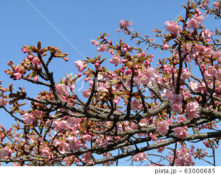 稲毛海岸駅前の河津桜が咲き始めました 63000685