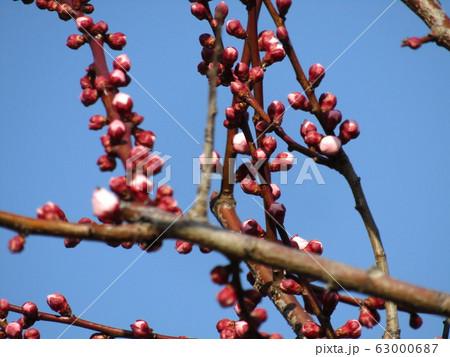 我が家の梅が咲き始めました 63000687