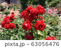 花フェスタ記念公園の薔薇 63056476