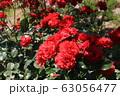 花フェスタ記念公園の薔薇 63056477
